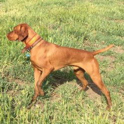 A Vizsla on point waiting for the handler hunter command to retrieve